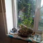 Дбайливий агроном вирощував коноплю на власному балконі