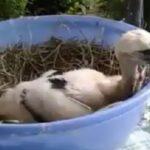 Аистëнка, родители выбросили из гнезда. У кого то есть возможность и желание помочь? (Видео)