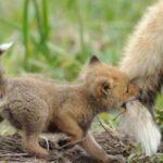 На території мисливських та лісових угідь Шосткинщини будуть проводитись заходи із переоральної вакцинації диких тварин